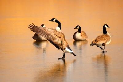 Wild Goose Waltz