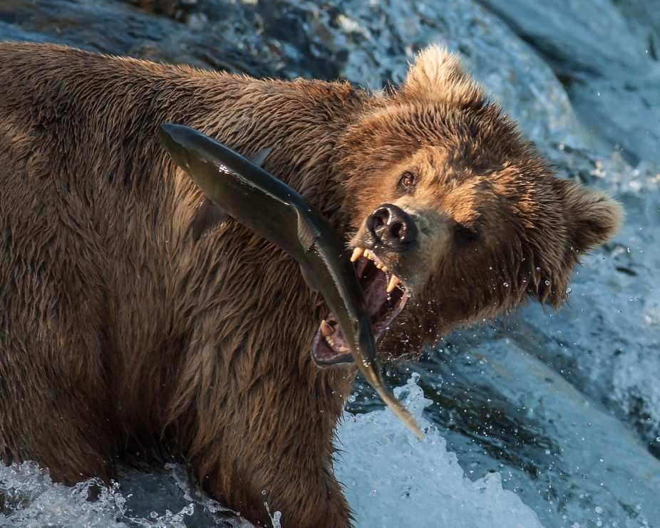 While photographing at Brooks Falls Camp in Katmai National Park in Alaska, this bear gave me a g...