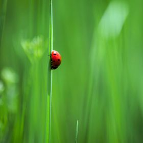 Finding this Lady Bug was like finding a needle in a hay stack. I went on a walk, was shooting butterflies and found this single bug perched on a...