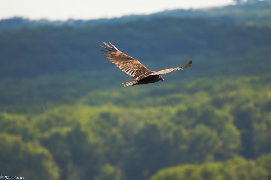 Mississippi Valley Turkey Vulture