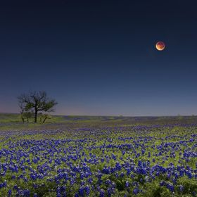 Blood Moon Over Bluebonnets