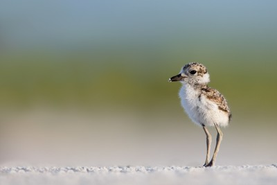 Wilson Plover Chick