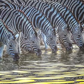 Zebras  drinking water at low light in Etosha National Park