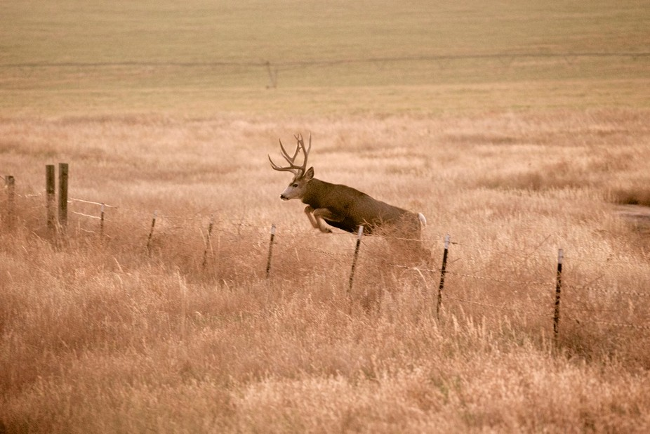 Very low light thus having to boost ISO a great explaining the grain. Saw this buck close tot he ...