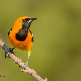 The Hooded Oriole is a beautiful bird to photograph and one that doesn't sit still for long...Shot in Bracketville, TX May 2016