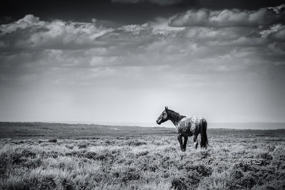 The Lone Stallion