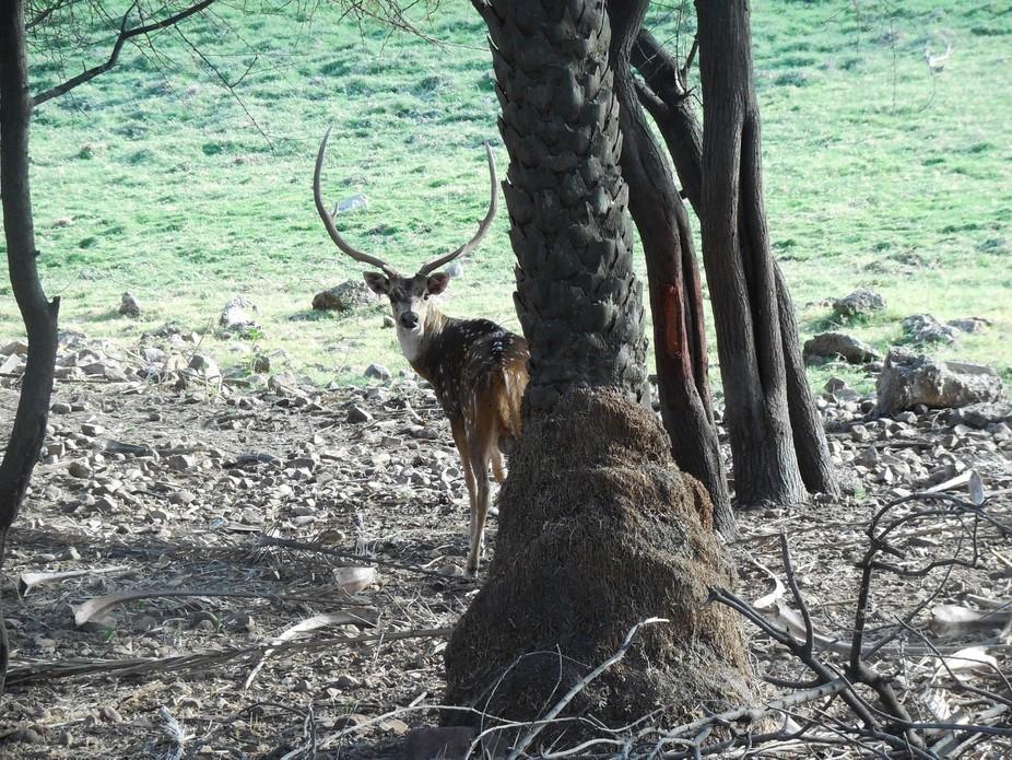 Spotted deer (or axis deer) at Van vihar national park, Bhopal (INDIA)