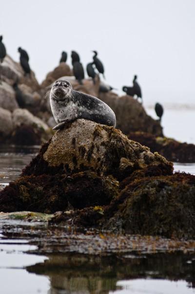 Harbor seal in Monterey