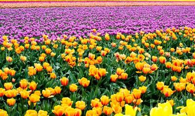 Endless Tulips