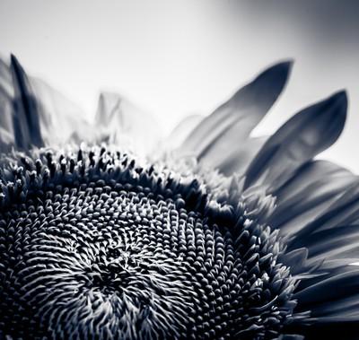 Sunflower honor
