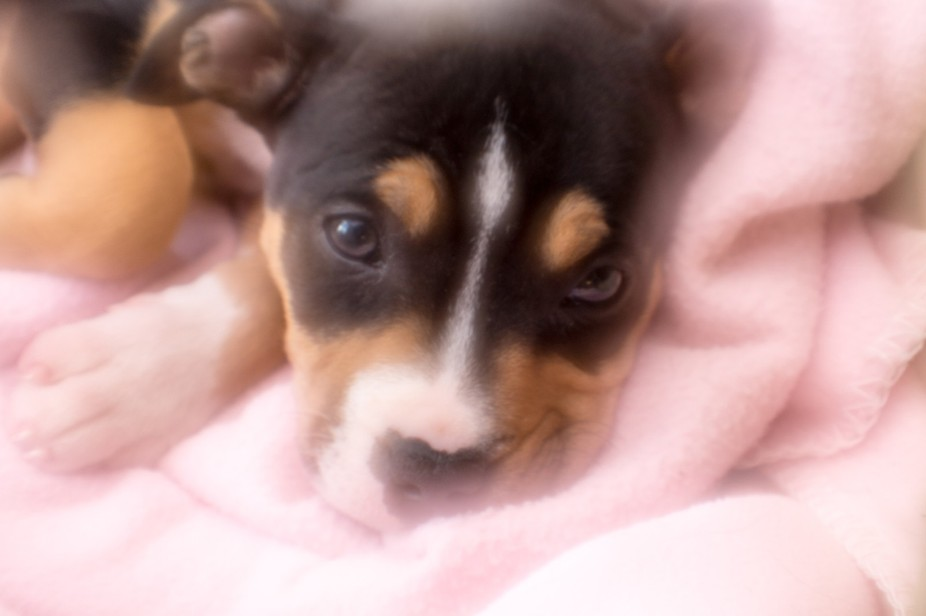 This is Sadie, she is a 12 week old Rottweiler/Staffy cross