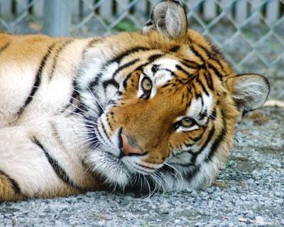 Suzy the Tiger