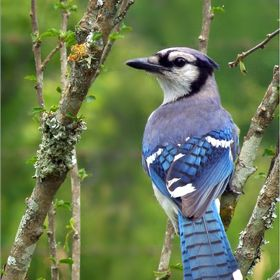 A Blue Jay Enjoying The Nice Weather.