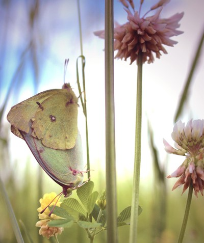 Cloudless Sulphur Butterflies in Clover