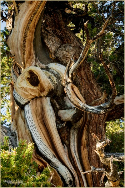 Knots in a tree