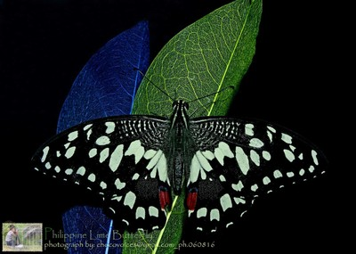 Philippine Lime Butterfly