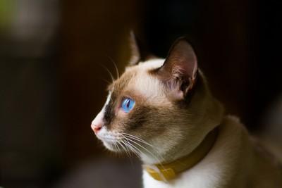 Blue Eyes White Kitty