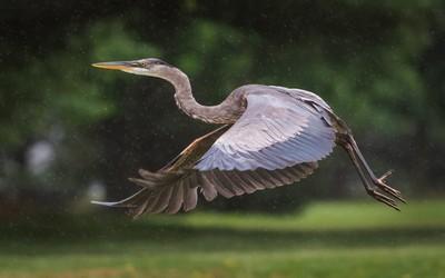 Flying Heron in the Rain