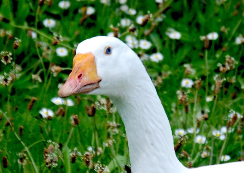 Goosey having a gander