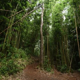Bamboo forest in Hawai'i