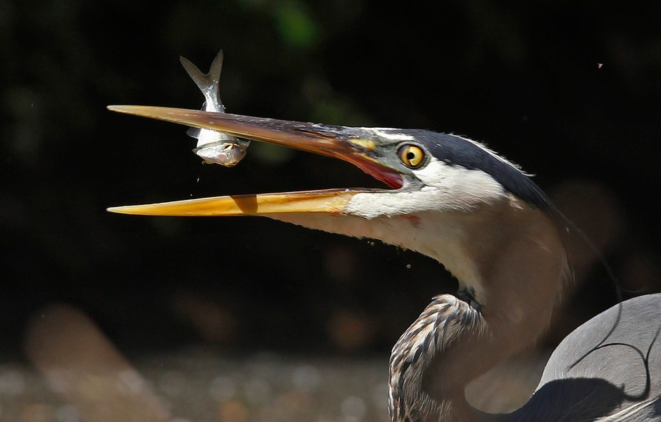 A Great Blue Heron tosses a fish to get it closer to it's throat while fishing in Simpso...