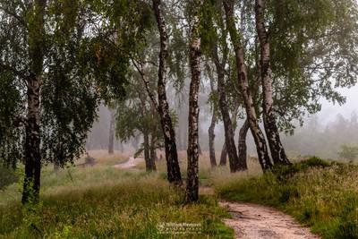 Misty Birch Path