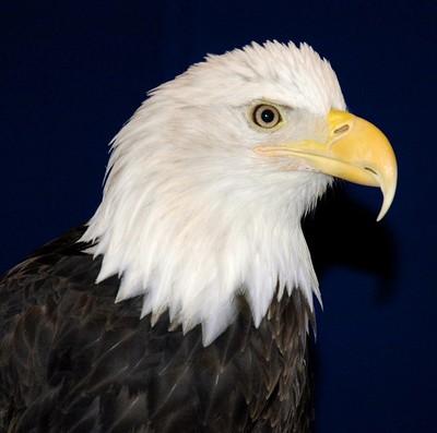 Markus the Eagle