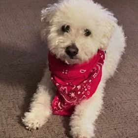 Our Bichpoo just loves to have his picture taken. Strike a pose, little cowboy!!