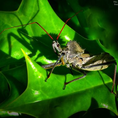 Primitive killer extraordinare, the Assassin Bug.  Also called the wheel bug for the spiny disk on his back (looks prehistoric!)  These are rather amazing insects, predators.  Stalking caterpillars, grasshoppers, spiders.  That long tube on his snout is his weapon, he punctures the victim, injects a paralyzing toxin that also liquifies the prey so he can drain it from the inside out.  They aren't aggressive like wasps are but this is said to be about 5x as painful as a wasp sting.