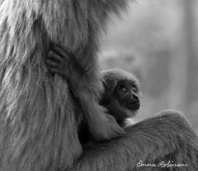 baby monkey in black and white