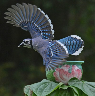 Blue Jay Taking Off