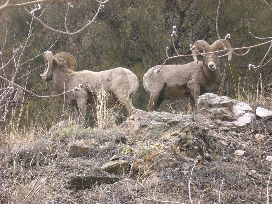 High up in the Rocky Mountains is seen these beautiful Rams. It was almost like they were posing ...