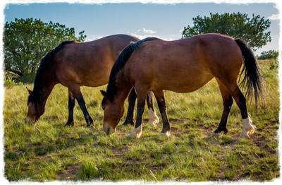 Two Mustangs