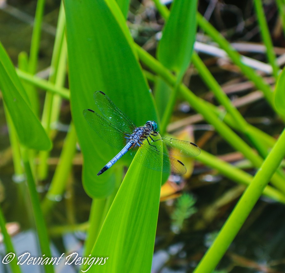 Beautiful Blue Dragonfly was kind enough to pose for me for an afternoon.