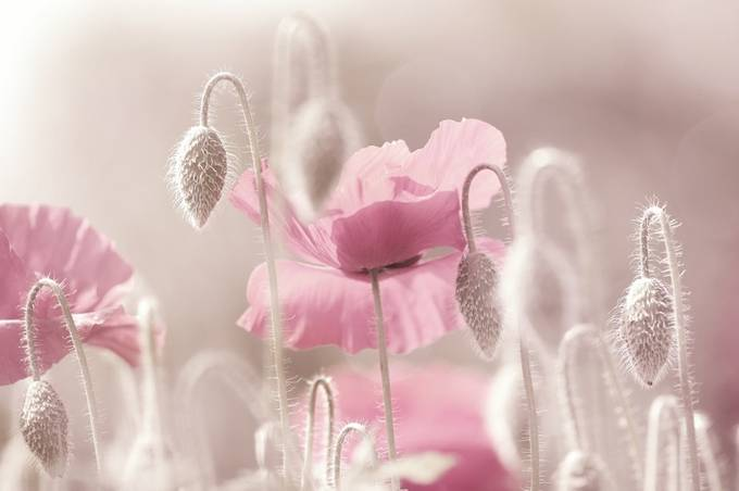 Pink Poppies Time by tanjariedel - Beautiful Flowers Photo Contest