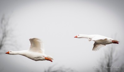Geese Fly-By