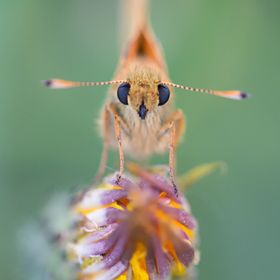 Large skipper in the last light at 'De Groote Wetering' in the Netherlands