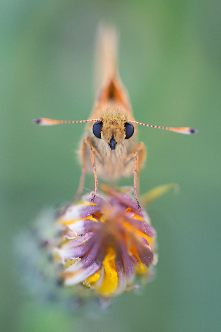 Large skipper by iriswaanders - Beautiful Butterflies Photo Contest
