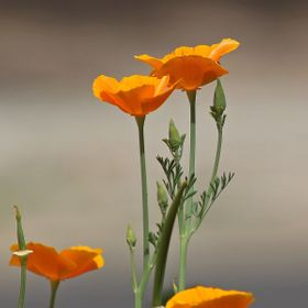 California poppies (Eschscholzia californica) in a flower garden.