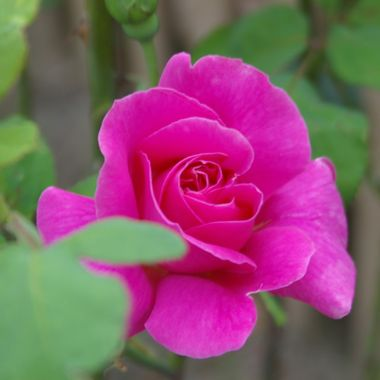 Rose of Pink -Warder Cres Rose - 19 July '08
