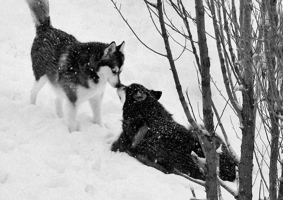After a blizzard my two Alaskan Malamutes loving the snow. Rain on the left and her brother KJ on...