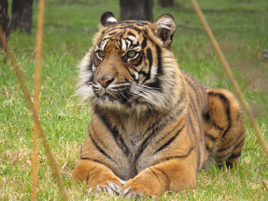 A beautiful Tiger posing for my friend Shell.