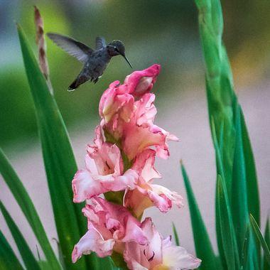 Hummingbird enjoying a gladiola nectar dinner