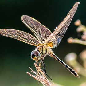 Dragonfly on stick