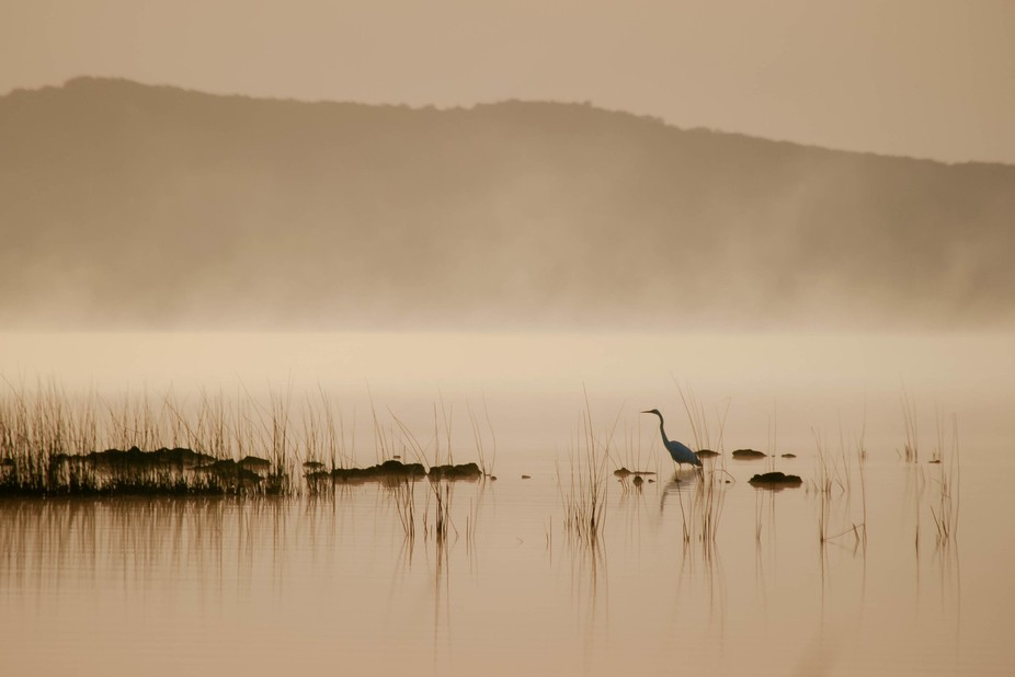 A mist rises off the lake as a Grey Egret looks for her breakfast in the shallows.