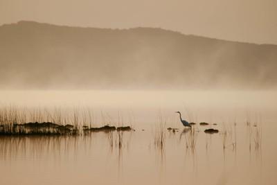 Grey Egret at dawn