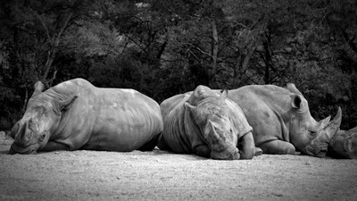 The Rhino Trio