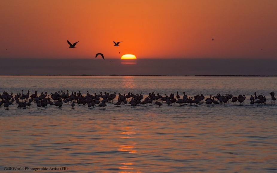 Flamingo at sunset.  Walvis Bay, Namibia