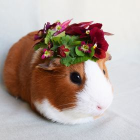 My guinea pig Dinah is a great sport.  Beautiful face too!