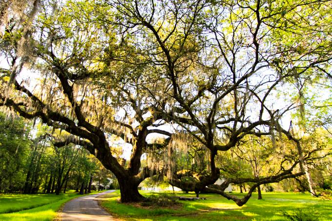 Magnolia Plantation & Gardens- Charleston, SC. Taking a walk thru these gardens is amazing. No matter how many times I have walked thru here I am always in ahh what I can find and see.